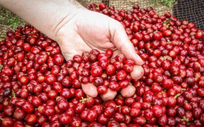Diferența dintre cafeaua Arabica și cafeaua Robusta